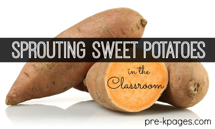 Sprouting Sweet Potatoes with Kids