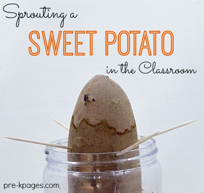 Growing a Sweet Potato with Preschoolers