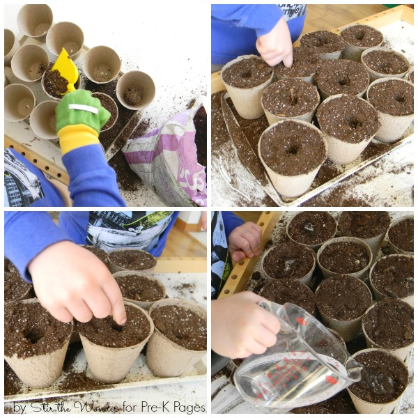 Planting Peas into soil with preschoolers