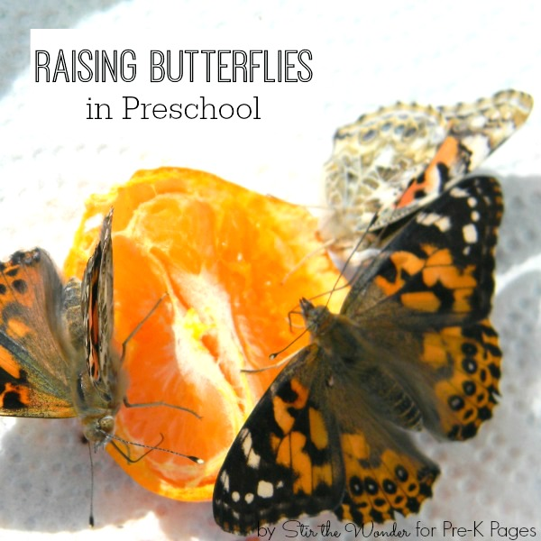preschool science raising butterflies