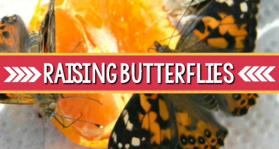 Raising Butterflies in Preschool