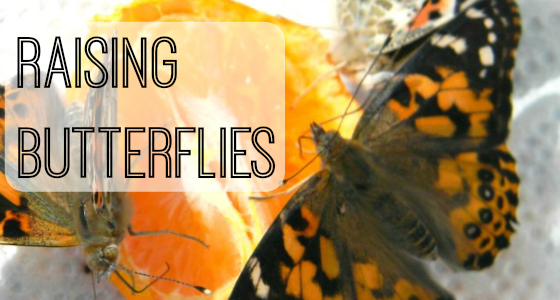 preschool science butterflies