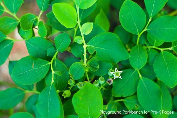 nature shape hunt prek blueberry