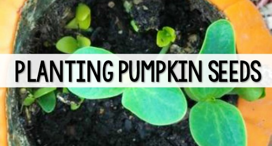 Planting Pumpkin Seeds in a Pumpkin