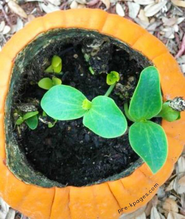 Pumpkin plant growing inside a pumpkin