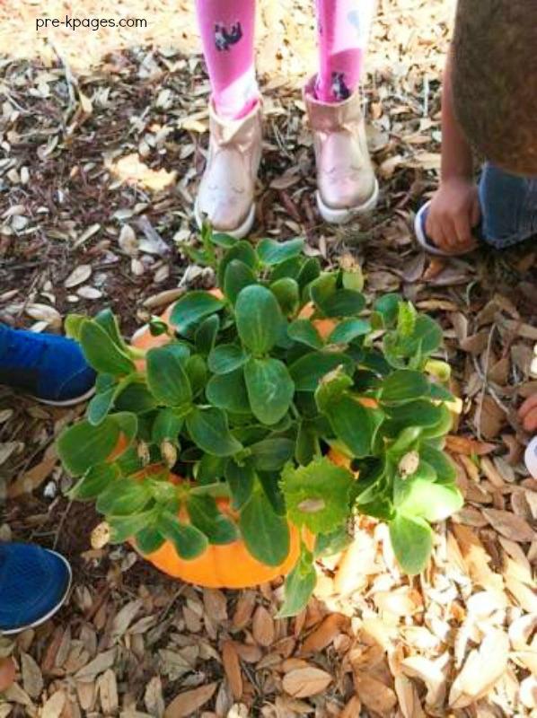 Many pumpkin plants growing in a pumpkin