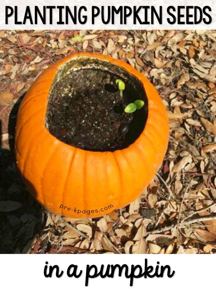 Planting Pumpkin Seeds Inside a Pumpkin