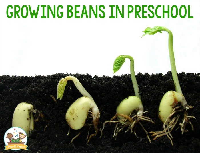 Growing Bean Seeds in Preschool