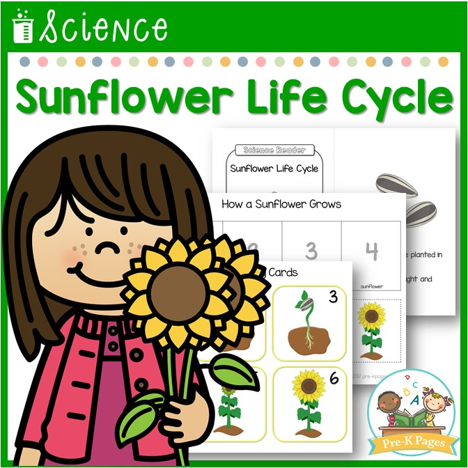 Sunflower Life Cycle Lesson