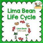 Lima Bean Life Cycle Activities for Preschool