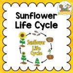 Sunflower Life Cycle Activities for Preschool